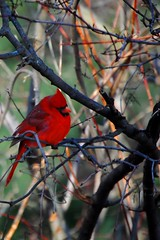 Cardinal Rule (Scott M Duncan) Tags: red color tree bird nature cardinal regal platinumphoto diamondclassphotographer