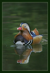 Mandarin Magic (hvhe1) Tags: bird nature animal duck bravo searchthebest wildlife mandarin mandarinduck waterfowl naturesfinest interestingness3 firstquality supershot specanimal animalkingdomelite hvhe1 hennievanheerden avianexcellence