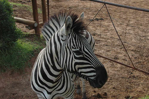 Zebra on the loose in Little Switzerland (by Louis Rossouw)