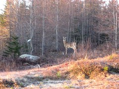 Deer of the Day (noonie2seven) Tags: morning maine deer commute whitetail jonesboro