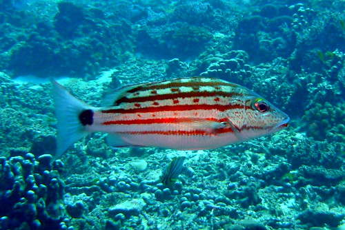 Checkered Snapper at Similan Islands