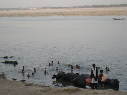 People and livestock bath in the holy Ganges River