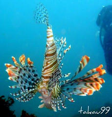 Lionfish at Hachijo Island, Japan (_takau99) Tags: ocean trip travel sea summer vacation holiday fish uw nature water june topv111 japan island lumix tokyo islands nationalpark topv555 topv333 underwater topv444 scuba diving topv222 panasonic pacificocean tropical 日本 scubadiving 東京 lionfish 2008 izu hachijo 八丈島 hachijojima fx30 fujihakoneizunationalpark takau99 fujihakoneizu dmcfx30 八丈