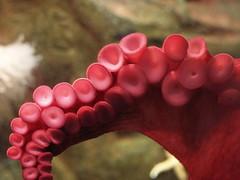 cup giant aquarium lajolla octopus birch tentacle suction sucker scripps