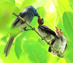 #282  (John&Fish) Tags: bird wow birding taiwan best 2008 ih blackpearl naturesfinest blueribbonwinner anawesomeshot colorphotoaward impressedbeauty avianexcellence ysplix eliteimages