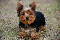 Picture of Mouse, a Yorkshire Terrier puppy