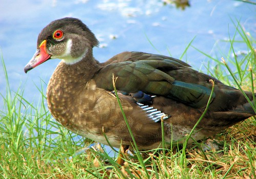 Wood Duck Fledgling