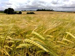 Crops in the wind (John McBride) Tags: grass scotland nokia blog glasgow fields auchinloch n82 robroyston nseriesphotoclub