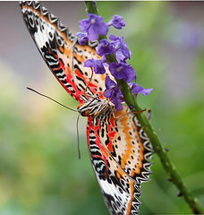 Bottoms Up (moorepix4u2c) Tags: beauty butterfly stlouis missouri multicolored butterflyhouse cubism faustpark bottomside leopardlacewing top2020 anawesomeshot goldstaraward myfavoritebutterfly