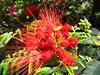 "Sao Paulo Brazil (Calliandra dysantha), flower symbol of the Brazilian Savannah, Mimosaceae/Mimosa"". (mauroguanandi) Tags: brazil calliandra mimosaceae calliandradysantha mimamorflores awesomeblossoms"