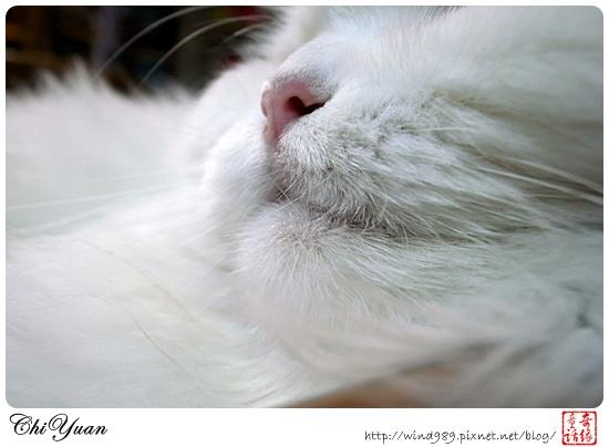 【貓季】粉紅鼻貓(叮叮)