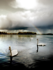 Cygnes - Swans (Jerome Mercier) Tags: leica nature water animal clouds landscape geese rainbow eau swans nuages paysage hdr cygne arcenciel leicadigilux3 jeromemercier jeromemercierphoto jmbook bookjm