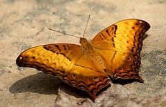 Great Butterfly () Tags: westernghats mothsofindia largemoths koodalteertha