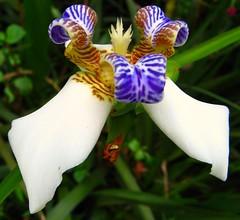 Falso-lrio branco, (Neomarica gracilis) Parque Aclimao, So Paulo, Brazil (mauroguanandi) Tags: iridaceae neomaricacaerulea mimamorflores