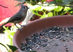 Titmouse (donwest48) Tags: bird birds titmouse