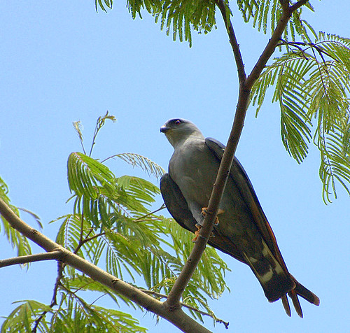GAVIÃO-POMBO-PEQUENO ( Leucopternis lacernulatus) by Dario Sanches.