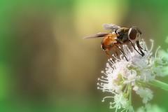 Aspirando... (Giancarlo Mella (OFF)) Tags: italy macro photography eos photo digitalcamera insetti canon100 400d mywinners giancarlomella