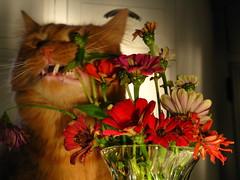 Mr. Punky Kitten eats Zinnias