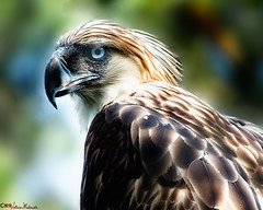 The Mighty Philippine Eagle (MalNino) Tags: travel traveller predator 2008 teleconverter davao pcc monkeyeatingeagle philippineeagle haribon tc20e aplusphoto vr70200mmf28 nikond300 nikonianusa
