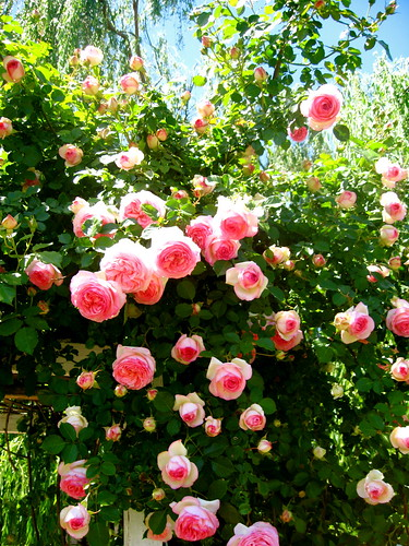 Pretty Eden Roses Against A Blue Sky