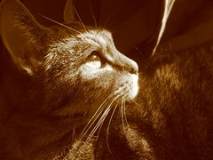 Lilly (mauzlover) Tags: portrait sun sepia cat germany lily cologne lilly katze bestofcats mauzlover