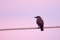 Cambacica (Luiz C. Salama) Tags: bird c natureza passarinho manaus condominio luiz salama ocioso drocio luizsalama salamaluiz metareplyrecover2allsearchprigoogleover
