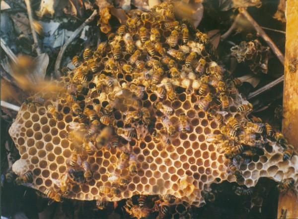 生態組佳作獎 作者許育財 題目蜂巢的美