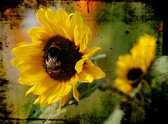 Sunflower bee (@Doug88888) Tags: pictures uk autumn sun kewgardens plant southwest color colour macro fall texture nature yellow thames canon happy eos 50mm petals flora colorful bright image bokeh wing picture gimp images bee sunflower buy colourful pollen purchase pollinate nov17 400d