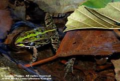 "(Gargio78) Tags: italy verde green animal animals fauna italia amphibian frog frogs amphibians rana animali animale animalia canale lazio rane gmt anura amphibia anfibio ranidae anfibi fieldherping chordate chordates chordata monterano anur anuro ranid anurs cordati macromarvels anuri excapturemacro cordato ranids ranidi ""nikonflickraward"" ranide erpetofauna fantasticwildlife gargio78 pelophilax"