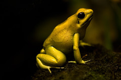 Golden Poison Frog ((Erik)) Tags: wallpaper gold zoo blijdorp pentax amphibian frog poison grenouille kikker tamron90mm goud phyllobatesterribilis myprince kwaak k20d pentaxk20d thegoldenfrog ihavethiscurrentltyasmydesktop yellowmellowbooster sexygoldenfrog