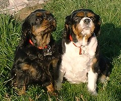 King Charles Spanial (Harvey Dogson) Tags: friends dog mike nature car puppy kat flickr amy or cumbria tricolor spaniel 5bestdogs ruby lyn mitzy sniffs ctr flickrfavorites blackandtan kingcharles newbiggin kingcharlescavalier flickerfavorites wakies closetoreality scenicsnotlandscapes ourmasterpieces discoveryphotos flickrlovers harveydogson amymit