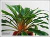Chlorophytum amaniense 'Fire Flash' (Fire Flash, Fire Glory, Mandarin Plant, Tangerine, Sierra Leone Lily)