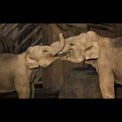 mother and daughter say hello (FoxyMcSlick) Tags: hello park family india elephant love animal animals digital canon eos rebel grey zoo kiss child indian daughter mother safari chester parent trunk elephants greeting greet xsi tusk enclosure naturesfinest 450d smallears foxymcslick