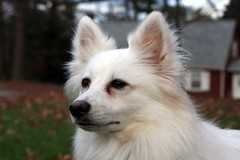 Matix enjoying the wind in his hair.. (*Michelle*(meechelle)) Tags: dog wind windy americaneskimo matix eskie impressedbeauty mydaughtersdog
