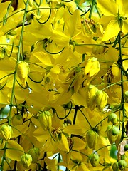 Acácia (pacatatu) Tags: christmas xmas flowers summer flores tree yellow natal petals amarelo verão arvore acacia petalas