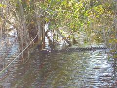 CIMG6534 (J_Dub) Tags: park wedding florida gator alligator national everglades haley bentley natio