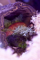 New Years Evie (niqkita) Tags: moss snake evie shedding cornsnake bloodred