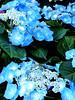Blue Flowers (Naitoyuki4444710) Tags: pink wallpaper paris anime art japan illustration lune logo de photography petals rainbow spain asia kei pics web banner goth manga super blogger hyde junior oriental visual vamps larme larcenciel suju heechul naitoyuki ainafetse