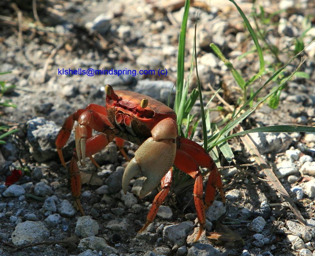 Florida Keys Red Land Crab flickr