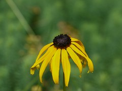 Wilted Black-Eyed Susan (andrickthistlebottom) Tags: flower blackeyedsusan lumixdmcgh1