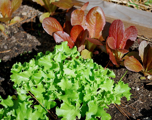 tango and rouge d'hiver lettuce