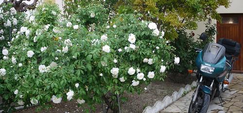 Rose2010.2