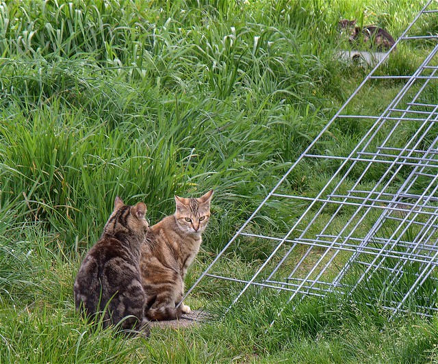 Feral tabby Cats Gossip amongst themselves