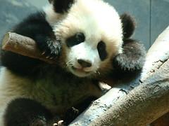 Another lifelike stuffie at Zoo Atlanta! (LCNessie) Tags: atlanta giant zoo cub panda po lun