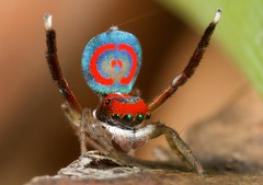 _MG_0331 peacock spider Maratus splendens (Jurgen Otto) Tags: spider peacock volans maratus mg3346