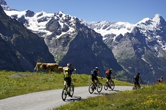 Cyclists, Cows, and the Eiger North Face (will_cyclist) Tags: switzerland cows grindelwald cal12 cowsx adventure11