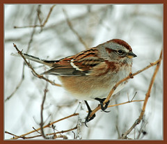 Tree Sparrow (nature55) Tags: winter bird nature wisconsin outdoors aves birdwatcher treesparrow naturesfinest magicdonkey specanimal nature55 impressedbeauty superbmasterpiece diamondclassphotographer flickrdiamond 330explorepages