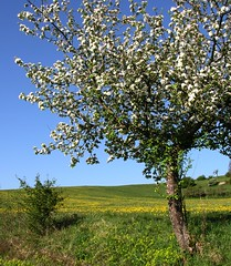 (Linda6769) Tags: blue sky flower tree germany spring village blossom bluesky thuringia dandelion blume wildflower blte landschaft blauerhimmel appletree apfelbaum blooming taraxacum lwenzahn bloomingtree wildblume cloudlesssky poppenwind blhend yellowwildflower wolkenloserhimmel blhenderbaum