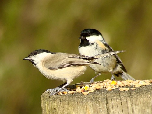 marsh tit & coal tit by sure2talk