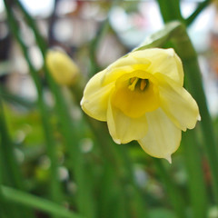 tiniest daff (gorgeoux) Tags: uk green london leaves yellow petals blurry dwarf balcony daffodil minnow narcissus daff